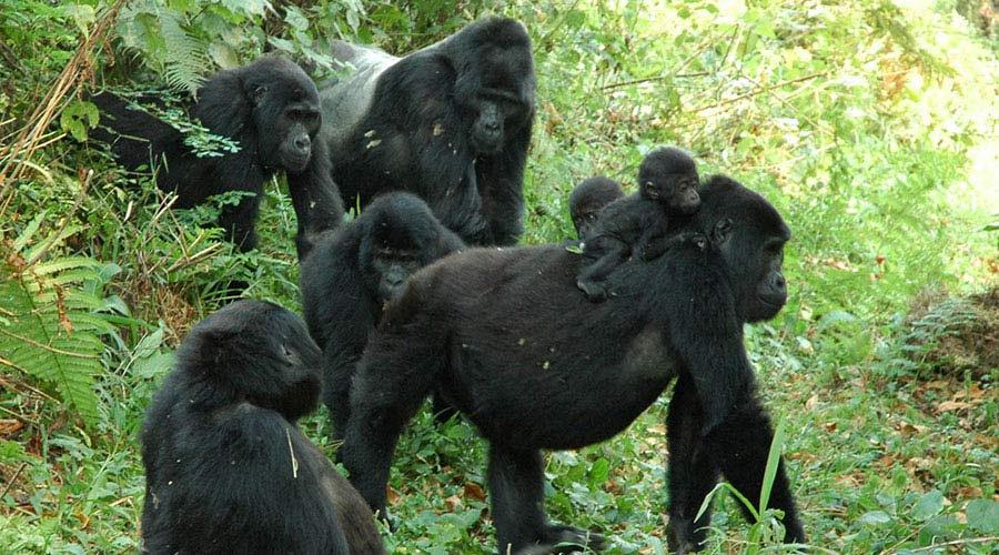 uganda gorilla - 12 Day Explore Uganda safaris