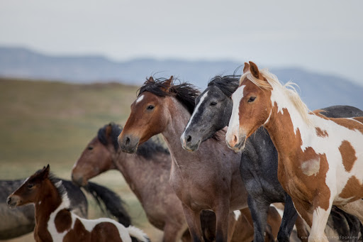Protect the wild horses in the Onaqui Herd Management Area (HMA) of Dugway, Utah!