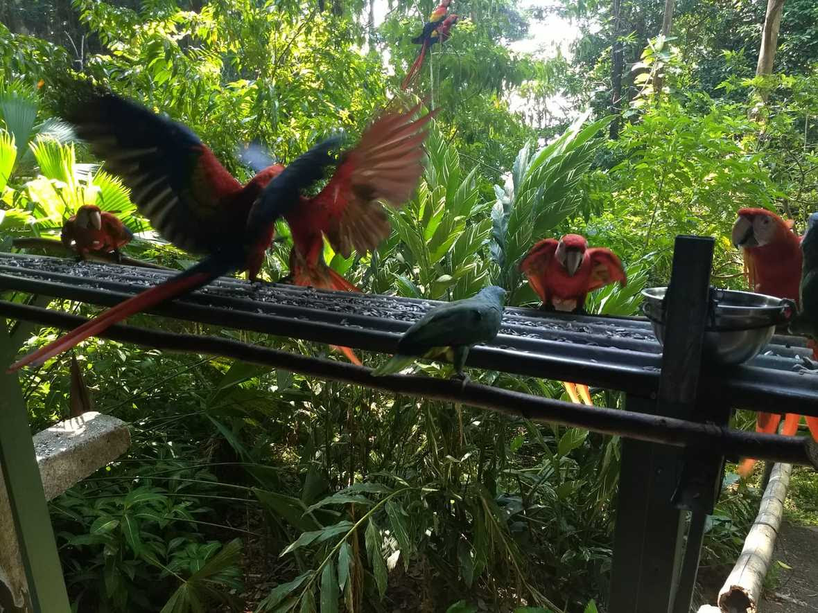 Scarlet macaws eating sunflower seeds from raised platform in rainforest