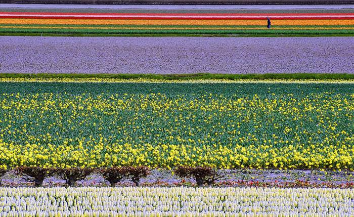 tulip photos