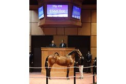 The Quality Road colt consigned as Hip 498 in the ring at the Fasig-Tipton October Yearlings Sale
