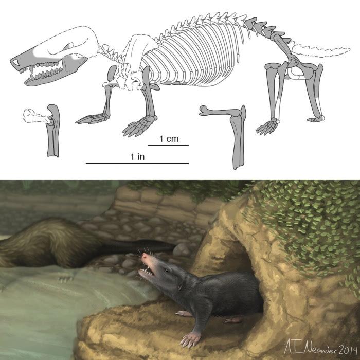 Image: Artist's rendition Docofossor brachydactylus