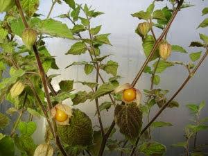 Cape gooseberries (Physalis Peruviana) in October