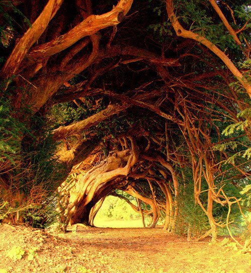 -1000 Year Old Yew Tree, West Wales