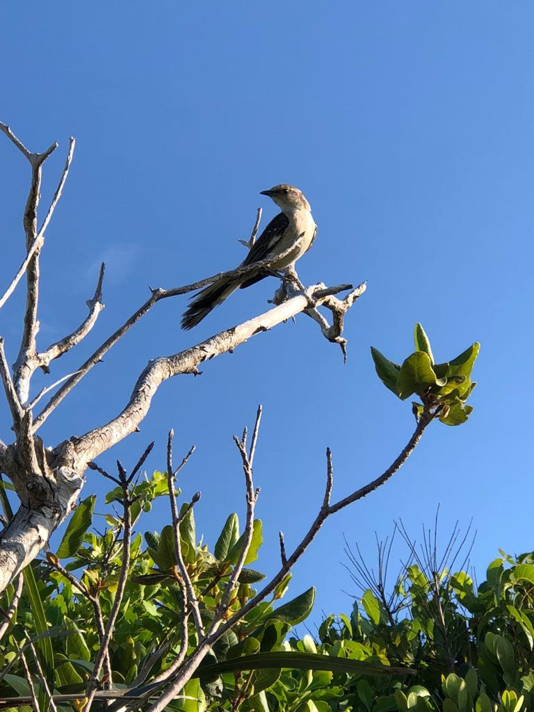 Adult mockingbird