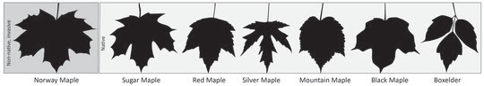 Leaf comparison of six native maple species and the non-native Norway maple