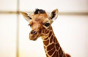 Baby giraffe Khari