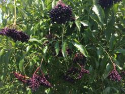 Dark purple elderberries on a bush