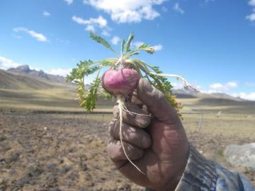 Hay oportunidades para nuevos alimentos de gran valor nutricional como la maca, kiwicha, quinua y cúrcuma a nivel internacional