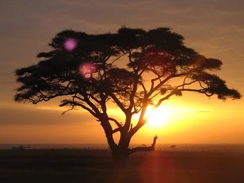 Africa Acacia Tree Generic
