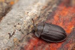 Eine echte Rarität: Peltis grossa. Der Flachkäfer kann bis zu zwei Zentimeter groß werden. (Foto: Lukas Haselberger)