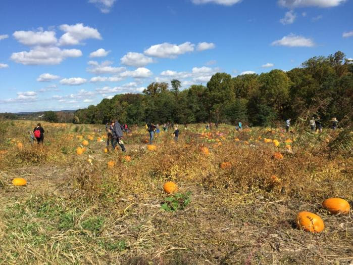 Big Pumpkin field