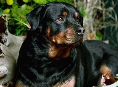 Czarny, Rottweiler