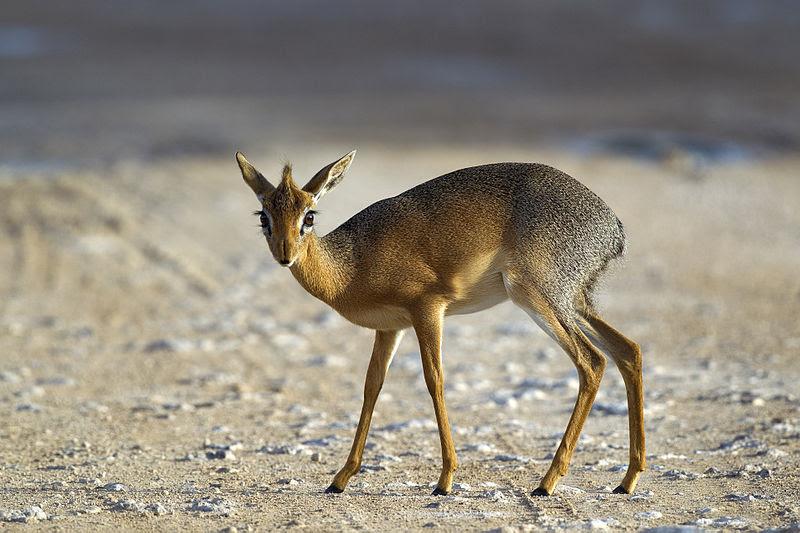 File:Madoqua kirkii - female (Namutoni).jpg