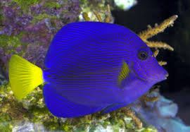 This Tang is amazing.  Between the pattern and color it will be a while before we get one like this again.  They are know to be a more aggressive tang, this should be taken into consideration when housing with other similar fish. Keeping them well feed wit