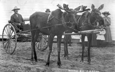 This moose team belonged to W.R. (Billy/Buffalo Bill) Day. They were found by a Metis near Baptiste Lake in 1910 and were reared by bottle and broken to drive by Mr. Day at Athabasca Landing during the winter of 1910. Mr. Day and the moose team hauled mail and supplies to Wabasca, Edmonton, Pelican Mountains, Calling Lake, Athabasca, Colinton, Rochester, Tawatinaw, Clyde, Legal, Carbondale and St. Albert. Buffalo Bill and his wife also ran a store at Calling Lake. Photograph J.H. Gano; Mrs. L. L: