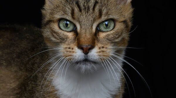 Zoe, a 14 year-old European cat, poses in the animal shelter of a SPA.