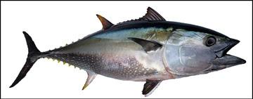 Pacific Bluefin Tuna illustration