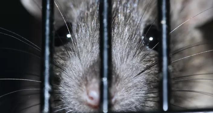 Una rata