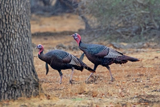 Two wild turkeys strut in an open area with sparse trees during fall.