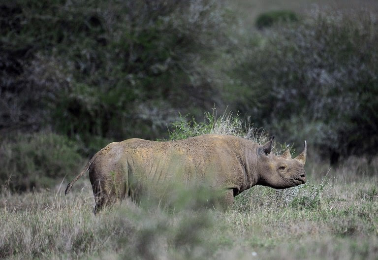 Only about 1,000 of Africa's Eastern black rhinos remain in the wild