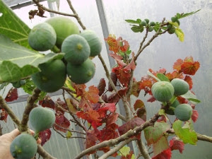 Autumn colour in the fruit polytunnel - late ripening figs and a grapevine intertwined