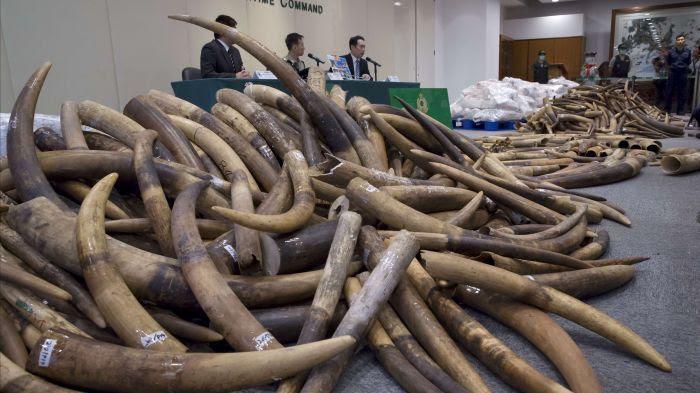 Les défenses d'éléphants après la saisie de la douane de Hong Kong le 6 Juillet 2017