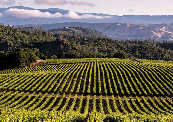 Rows of grapes vines of the location of Craftwork Wines in the rolling hills of Monterey, California.