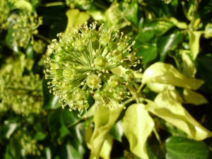 The beautiful nectar-rich flowers of Hedera Colchica 'Paddy's Pride' - 19.10.11.JPG