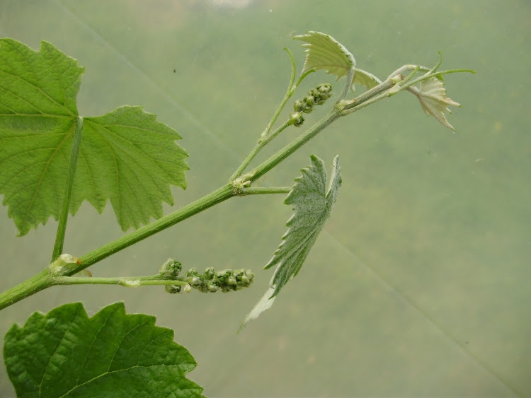 Side shoot or fruiting spur of  grapevine  - showing end of shoot pinched out 2 leaf joints beyond prospective bunches