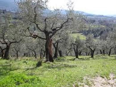 Spiritual Meditation & Mindfulness Retreats in Assisi, Italy, Europe olive trees photo
