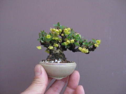 Rose bonsai: