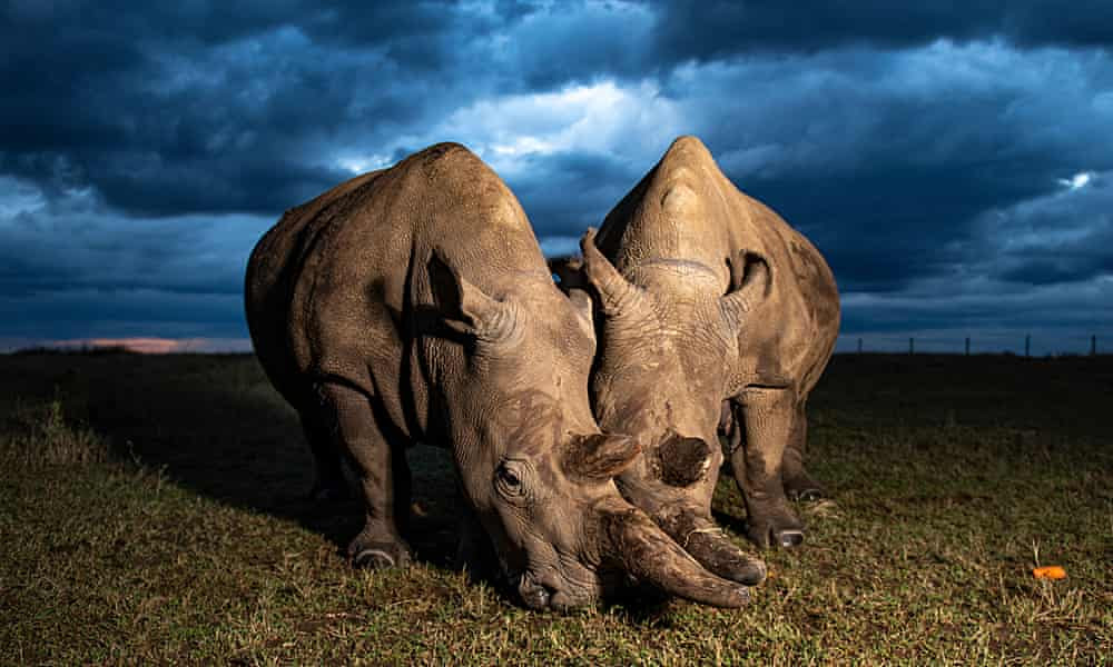 Can northern white rhinos be saved from extinction?