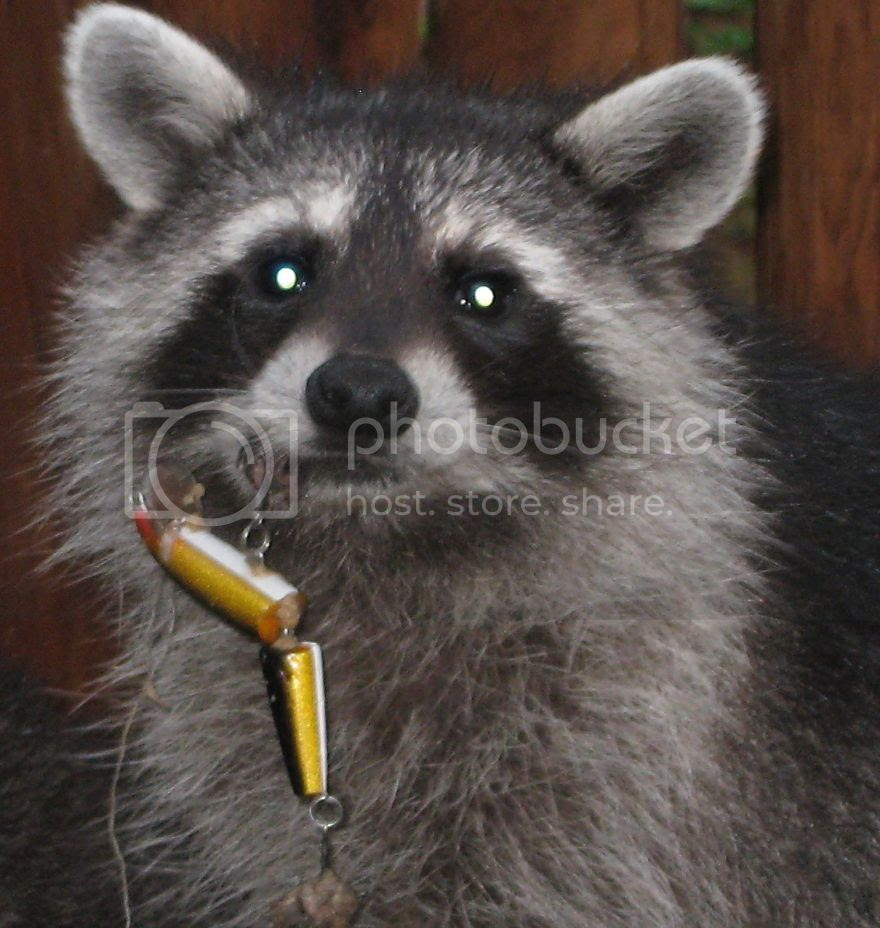 Young-Raccoon-Lure-in-Lip__880.