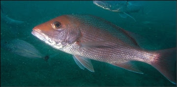 Red snapper swimming