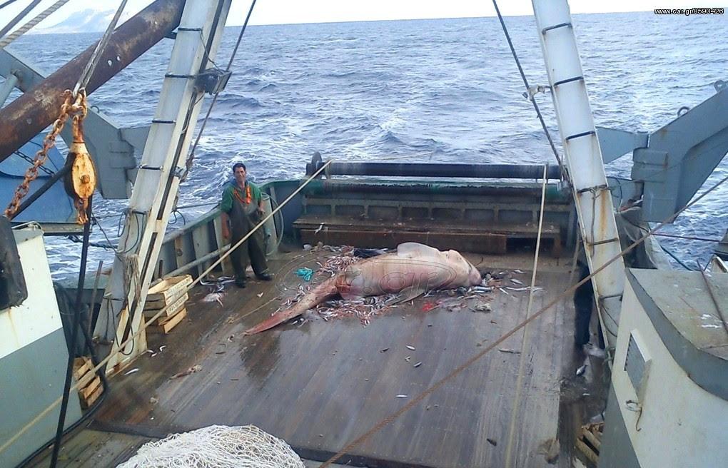 trawler shark2