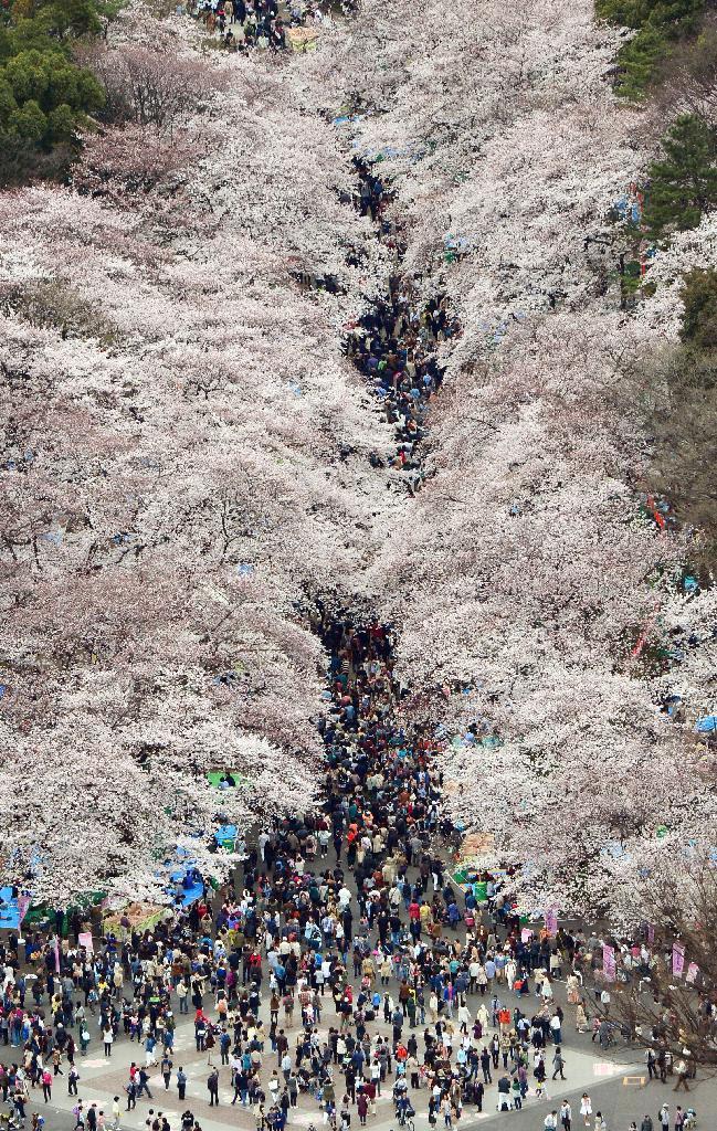 桜が満開を迎え、大勢の花見客でにぎわう東京・上野公園=29日正午ごろ(共同通信社ヘリから)