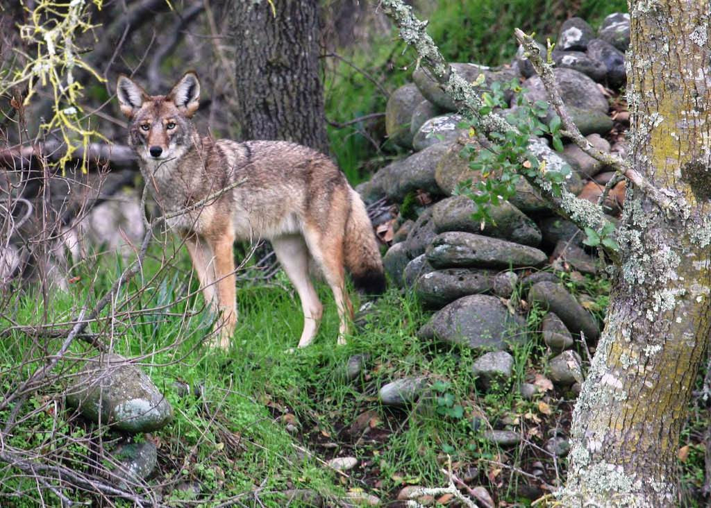 Coyotes have a life span of 6 to 8 years and they maintain a home range in urban settings of 2 to 5 square miles. (USFWS photo)