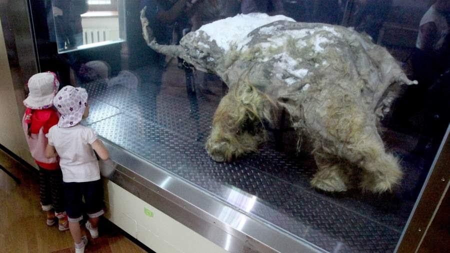 Мумия мамонтенка Юка, найденная в Усть-Янском улусе Республики Саха (Якутия) на берегу моря Лаптевых