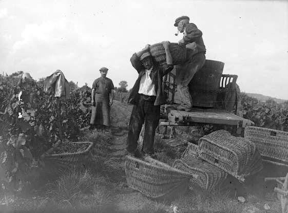 Một người đàn ông thu hoạch nho ở Burgundy, Pháp.