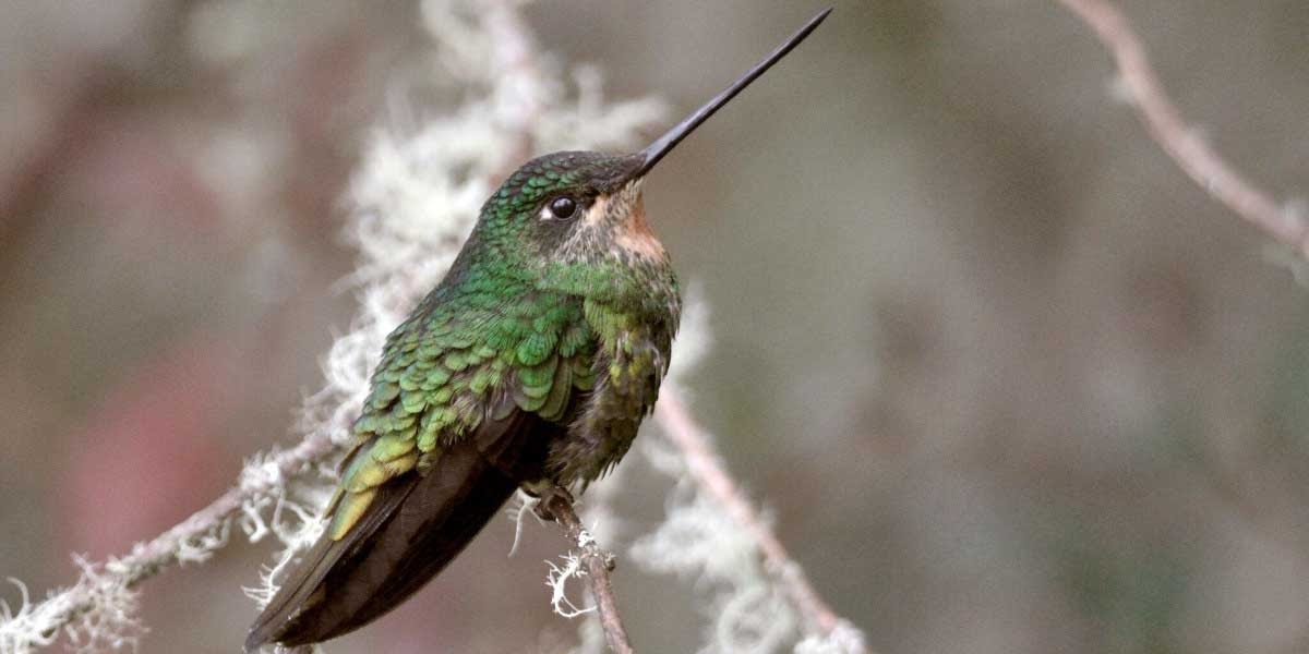 Glittering starfrontlet hummingbird