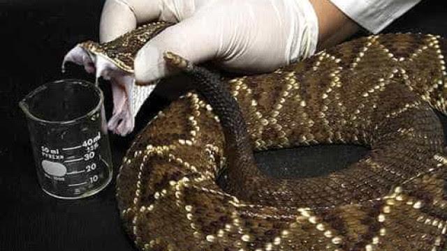 Veneno de serpente tem proteínas com potencial farmacológico