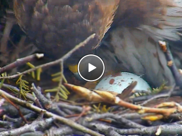 Big Red checks on her first egg