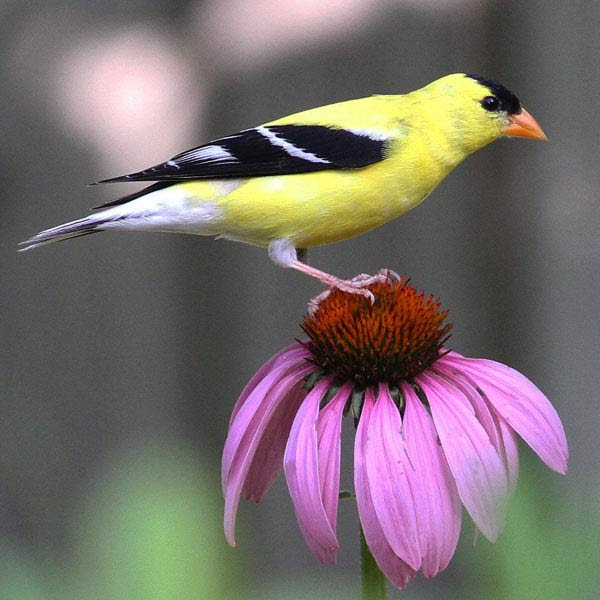 Purple Coneflower and American Goldfinch.