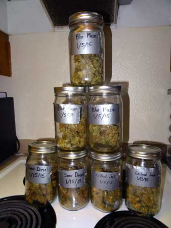 Auto-flowering buds curing in their jars