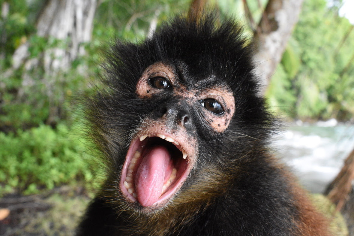 Head shot of spider monkey with her mouth wide open, tongue sticking out