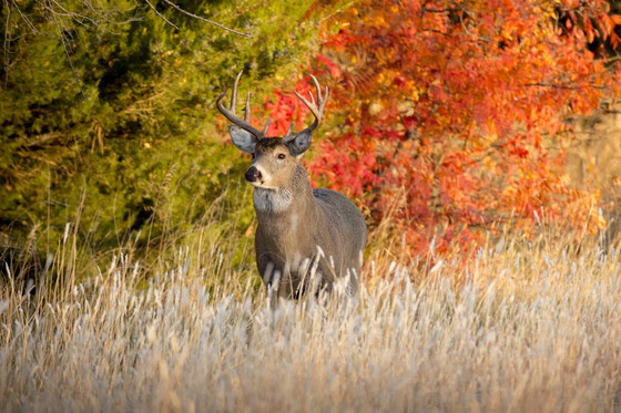 A large male Whitetail Buck is seen against a backdrop of orange and red fall leaves in Kansas.