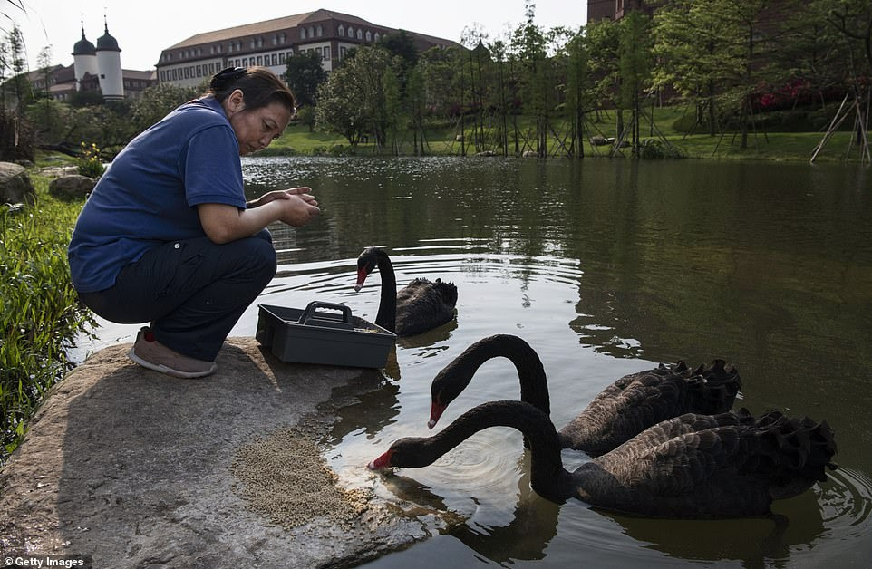 There are also several black swans that roam the company's headquarters and swim in a special lake. According to founder Ren Zhengfei, the birds are there to represent 'non-complacency within the corporate culture'