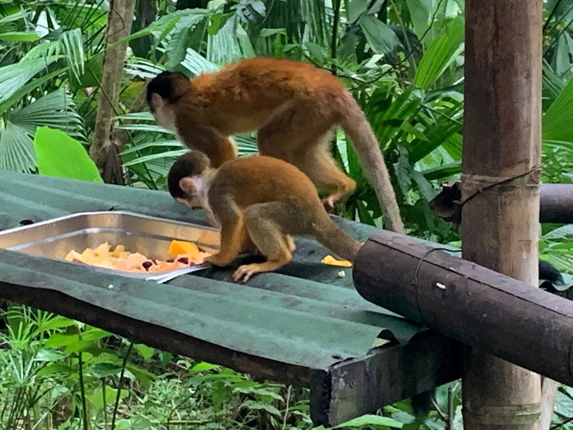 Baby squirrel monkey in front of adult squirrel monkey at food bowl, side profile