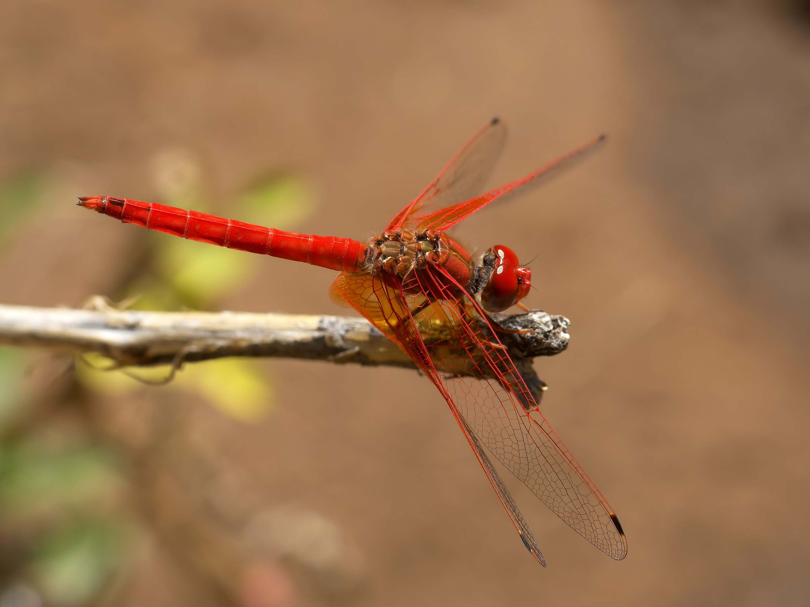 http://upload.wikimedia.org/wikipedia/commons/b/b8/Trithemis_kirbyi.jpg